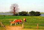 Pferde auf Weide an der Weser