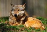 Wolf im Wolfcenter Barme